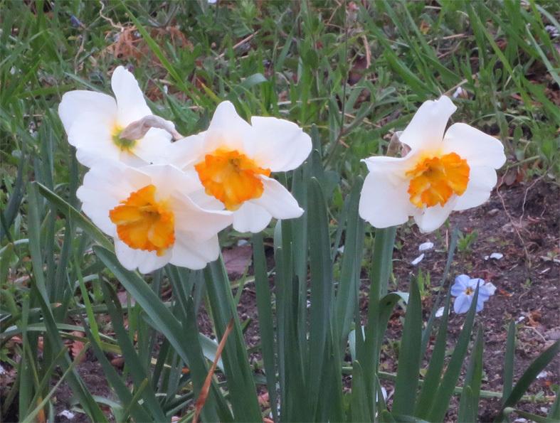 ■「今、桜はどうなってる?」ウォーキング──週替わりの夕暮れ[3/21]_d0190217_21230427.jpg