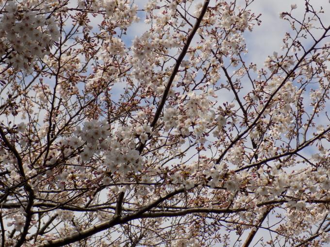 旧中川の春_c0249569_15194286.jpg