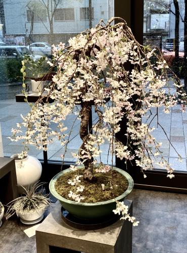 枝垂れ桜、咲きました❗️_d0122382_22283956.jpeg