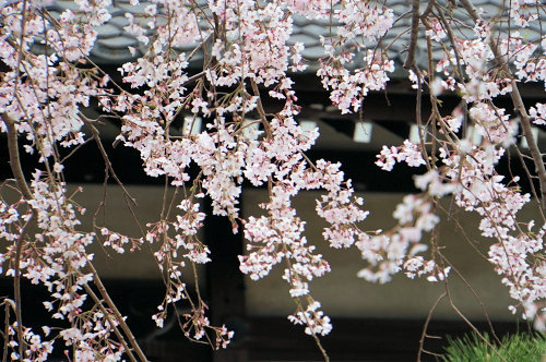 """春分の日、ひっそりと咲く""""しだれ桜""""、鎌倉/本覚寺から妙本寺!_c0168984_14334745.jpg"""