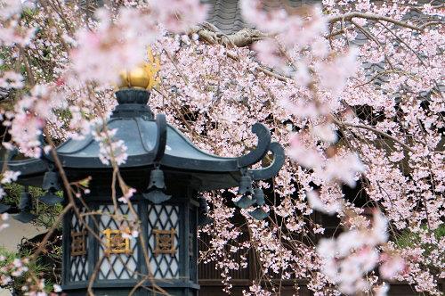 """春分の日、ひっそりと咲く""""しだれ桜""""、鎌倉/本覚寺から妙本寺!_c0168984_14335770.jpg"""