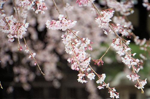 """春分の日、ひっそりと咲く""""しだれ桜""""、鎌倉/本覚寺から妙本寺!_c0168984_14343288.jpg"""