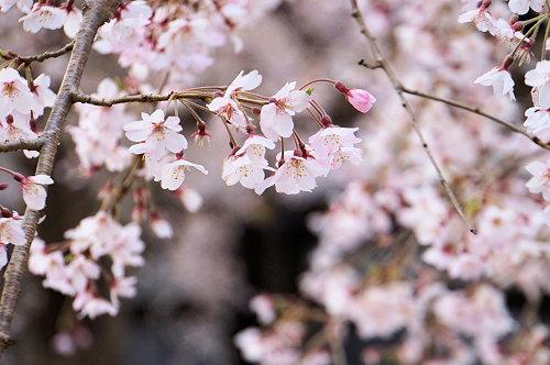 """春分の日、ひっそりと咲く""""しだれ桜""""、鎌倉/本覚寺から妙本寺!_c0168984_14345008.jpg"""