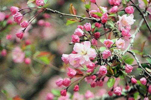 """春分の日、ひっそりと咲く""""しだれ桜""""、鎌倉/本覚寺から妙本寺!_c0168984_14351313.jpg"""