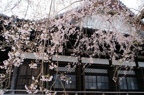 """春分の日、ひっそりと咲く""""しだれ桜""""、鎌倉/本覚寺から妙本寺!_c0168984_14371347.jpg"""