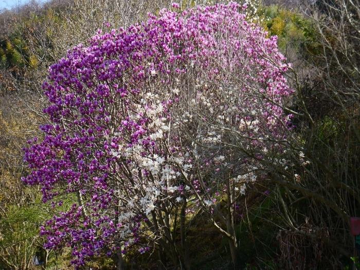 モクレン咲く丘  2021-03-24 00:00 _b0093754_23004039.jpg