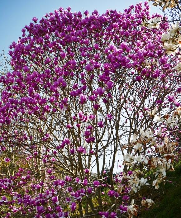 モクレン咲く丘  2021-03-24 00:00 _b0093754_23005935.jpg