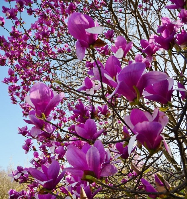 モクレン咲く丘  2021-03-24 00:00 _b0093754_23011393.jpg
