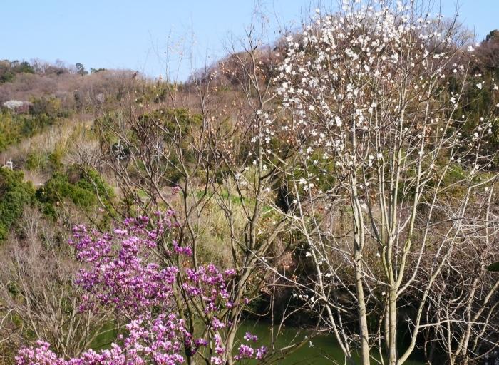 モクレン咲く丘  2021-03-24 00:00 _b0093754_23014396.jpg