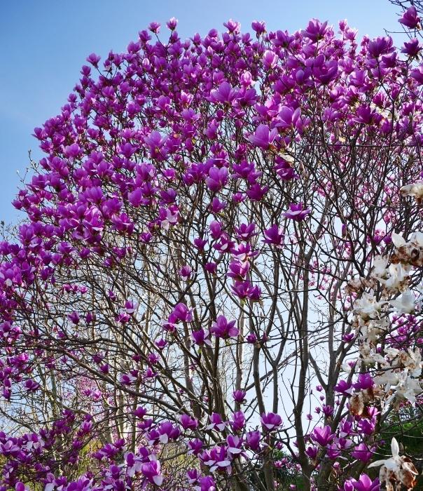 モクレン咲く丘  2021-03-24 00:00 _b0093754_23020049.jpg