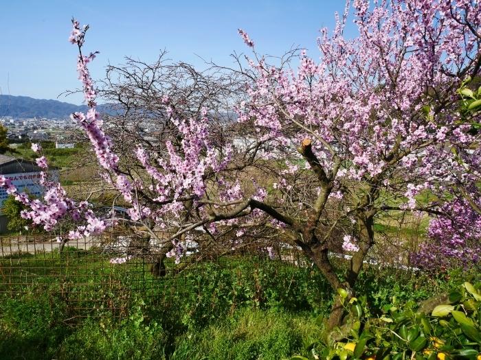 モクレン咲く丘  2021-03-24 00:00 _b0093754_23022026.jpg