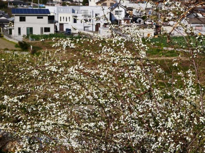 モクレン咲く丘  2021-03-24 00:00 _b0093754_23023633.jpg