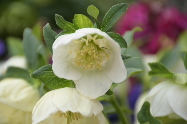 まだまだ咲いているマイガーデンのクリスマスローズ_b0356401_20545254.jpg