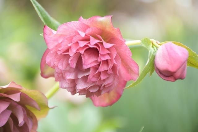 まだまだ咲いているマイガーデンのクリスマスローズ_b0356401_20553156.jpg