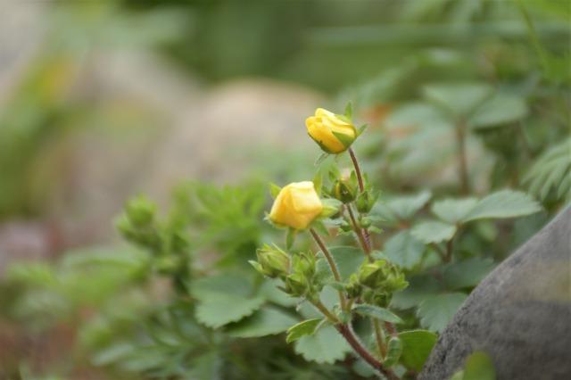 まだまだ咲いているマイガーデンのクリスマスローズ_b0356401_20555247.jpg