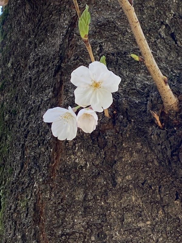 桜の香り_a0155408_09424017.jpg