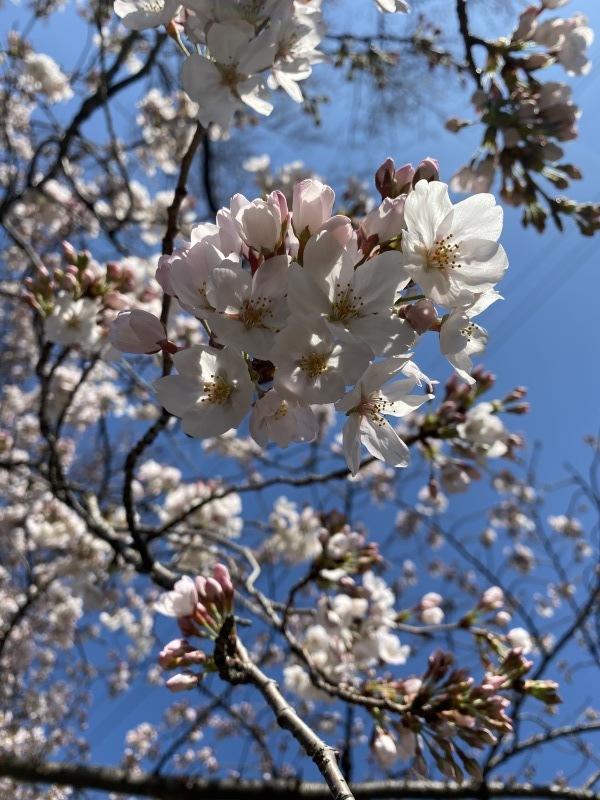 桜の香り_a0155408_09424893.jpg