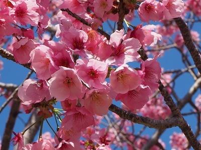横山展望台と陽光桜_f0129726_16031746.jpg