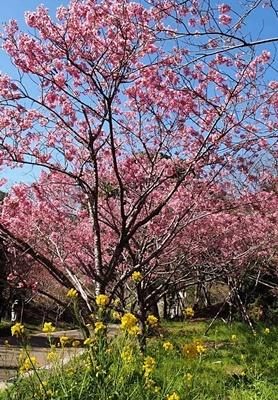 横山展望台と陽光桜_f0129726_16031925.jpg