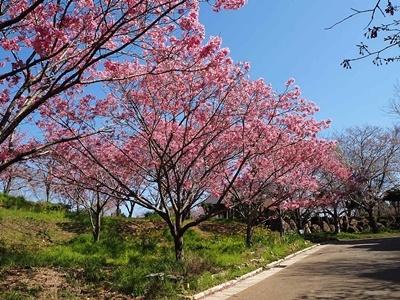 横山展望台と陽光桜_f0129726_16032104.jpg