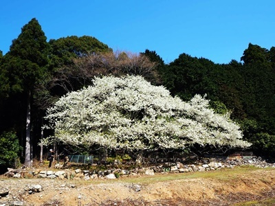 横山展望台と陽光桜_f0129726_16032430.jpg
