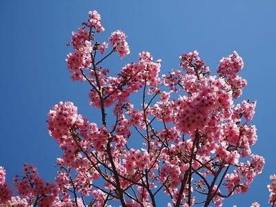横山展望台と陽光桜_f0129726_16135642.jpg