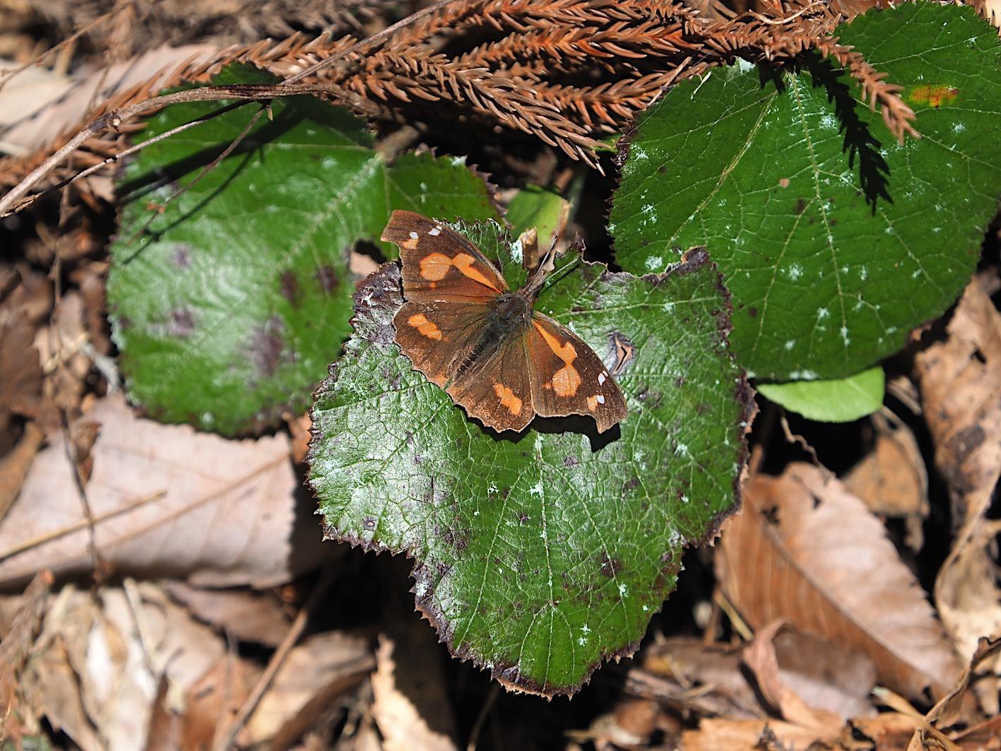 越冬蝶2種と新生蝶4種(2021年3月23日)_d0303129_10145348.jpg