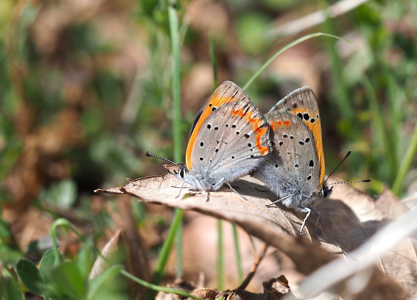 越冬蝶2種と新生蝶4種(2021年3月23日)_d0303129_10145418.jpg