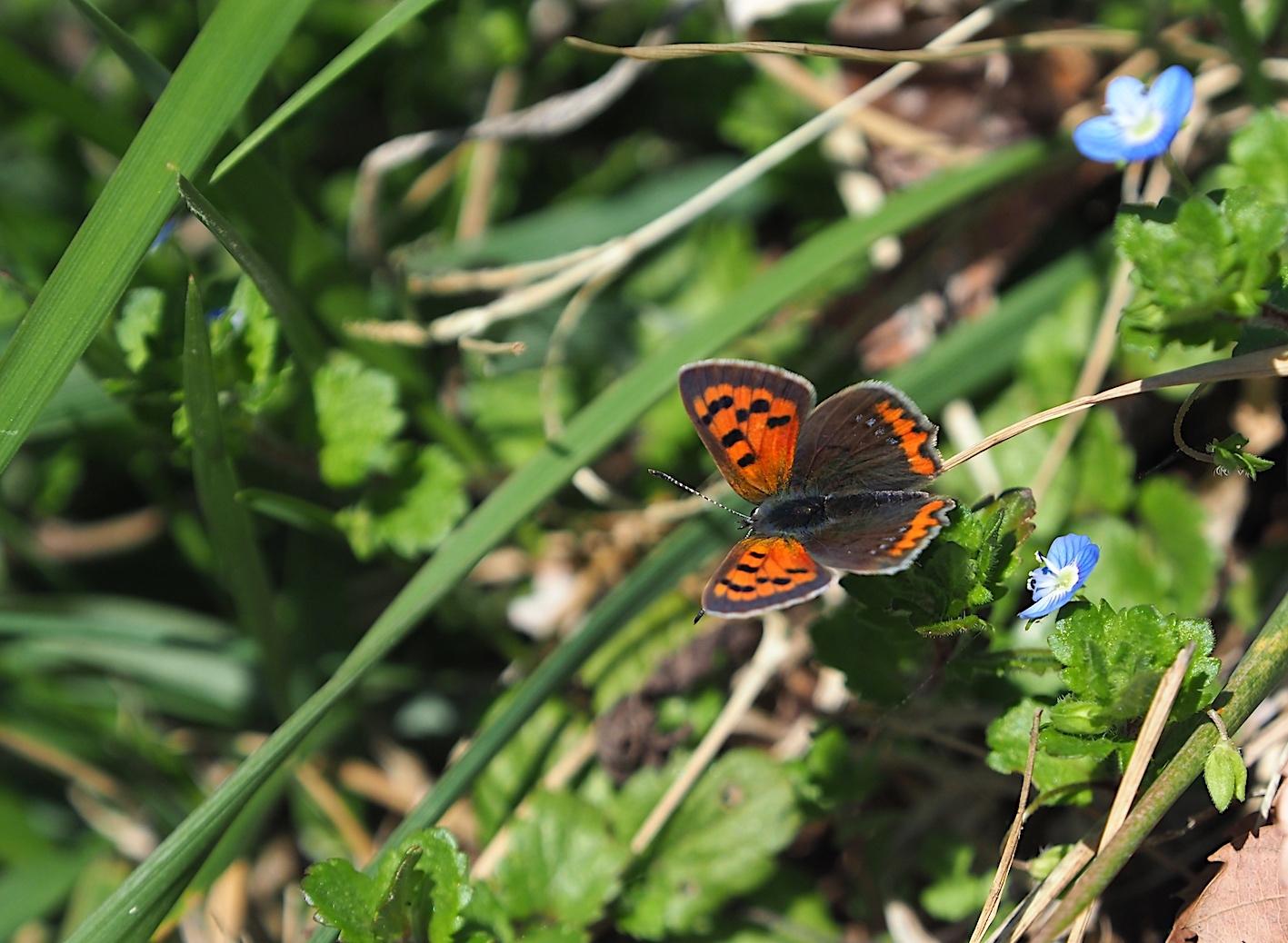 越冬蝶2種と新生蝶4種(2021年3月23日)_d0303129_10145421.jpg