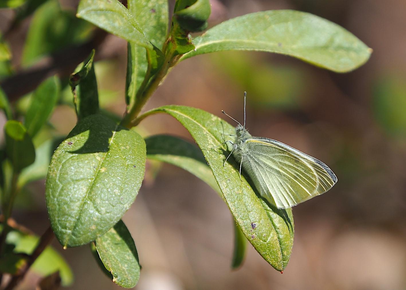 越冬蝶2種と新生蝶4種(2021年3月23日)_d0303129_10145510.jpg