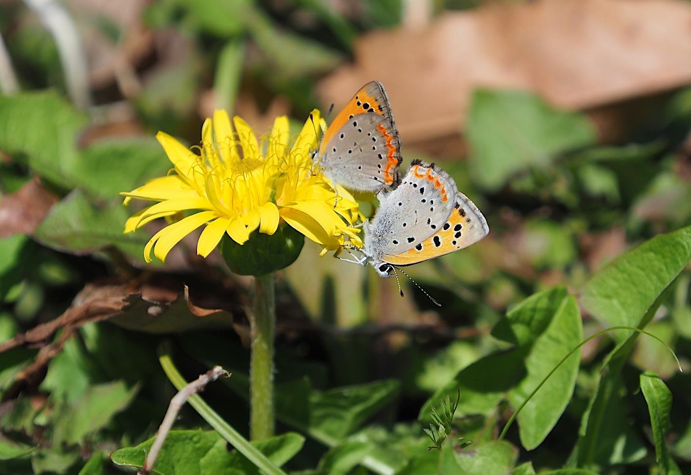 越冬蝶2種と新生蝶4種(2021年3月23日)_d0303129_10145527.jpg