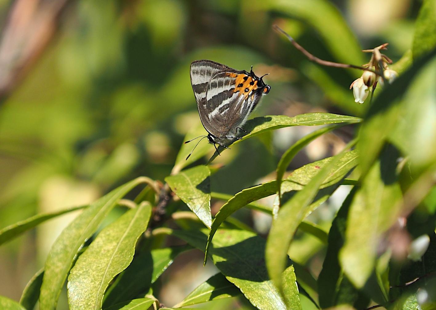 越冬蝶2種と新生蝶4種(2021年3月23日)_d0303129_10145541.jpg