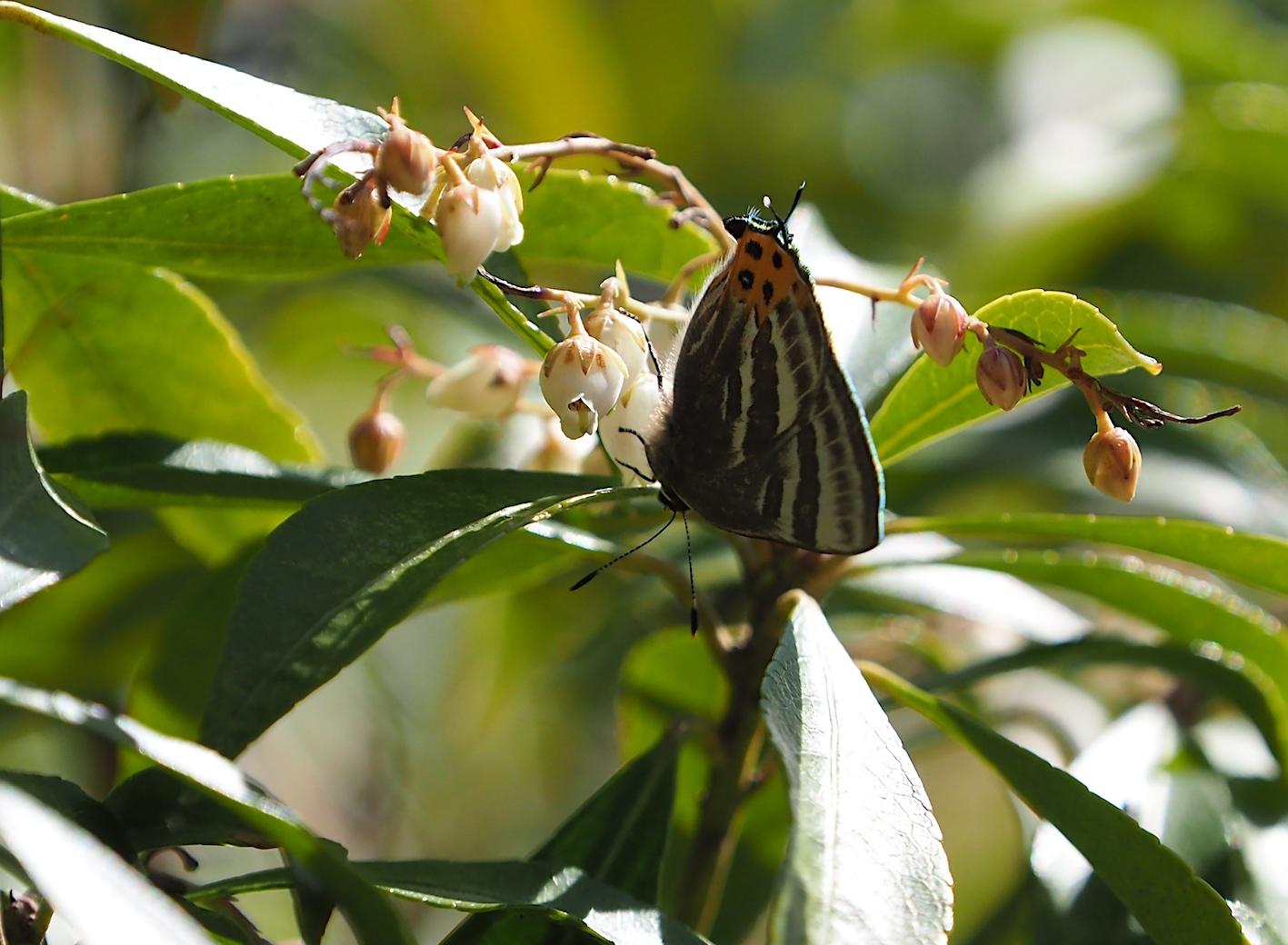 越冬蝶2種と新生蝶4種(2021年3月23日)_d0303129_10145584.jpg