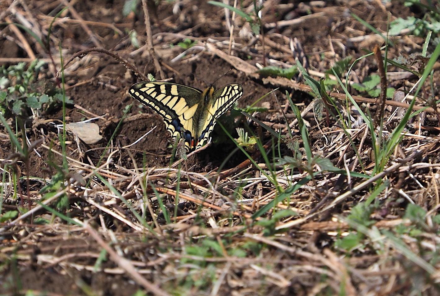 越冬蝶2種と新生蝶4種(2021年3月23日)_d0303129_10145657.jpg