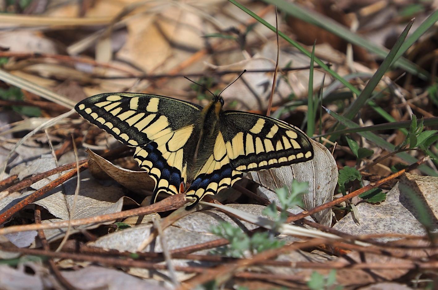 越冬蝶2種と新生蝶4種(2021年3月23日)_d0303129_10162412.jpg