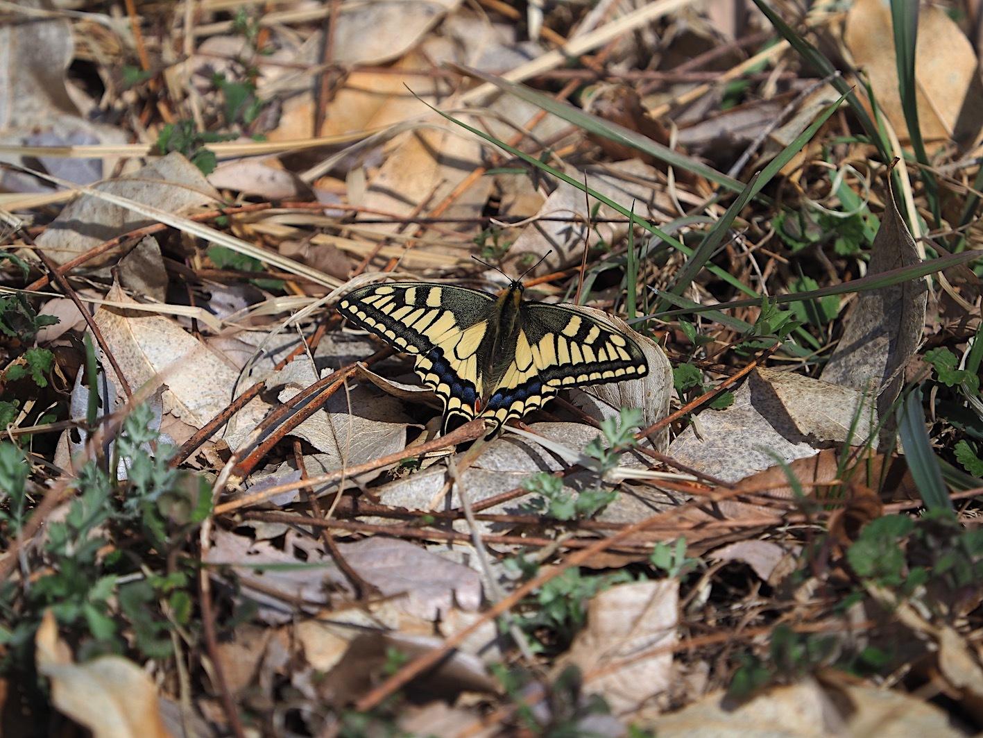 越冬蝶2種と新生蝶4種(2021年3月23日)_d0303129_10162419.jpg