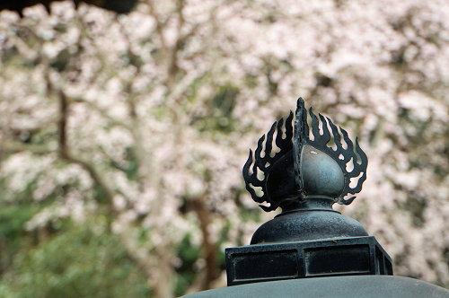 """☆春分の日、ひっそり咲く""""しだれ桜""""no.2、鎌倉/安国論寺!_c0168984_18493010.jpg"""