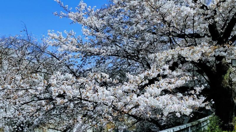 満開の神田川桜並木を歩く_f0017300_18440120.jpg