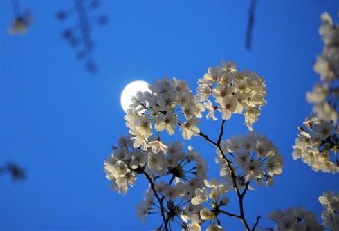 Sakura & Moon_f0006713_22380055.jpg