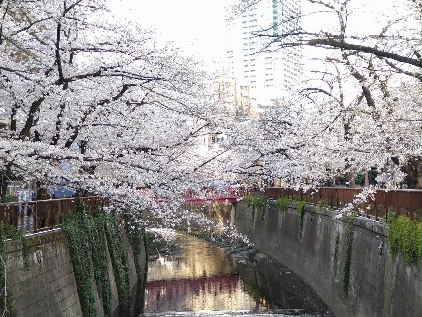 3月25日 「桜始めて開く」・桜について_b0255824_20275395.jpg
