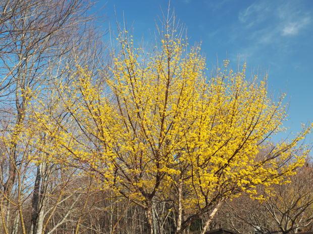 森に早春を告げる 小さな黄色い花たち_d0360272_21310548.jpg