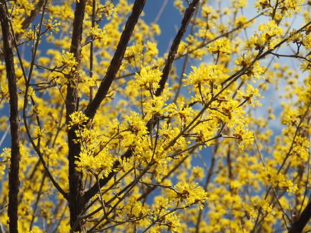 森に早春を告げる 小さな黄色い花たち_d0360272_21311618.jpg