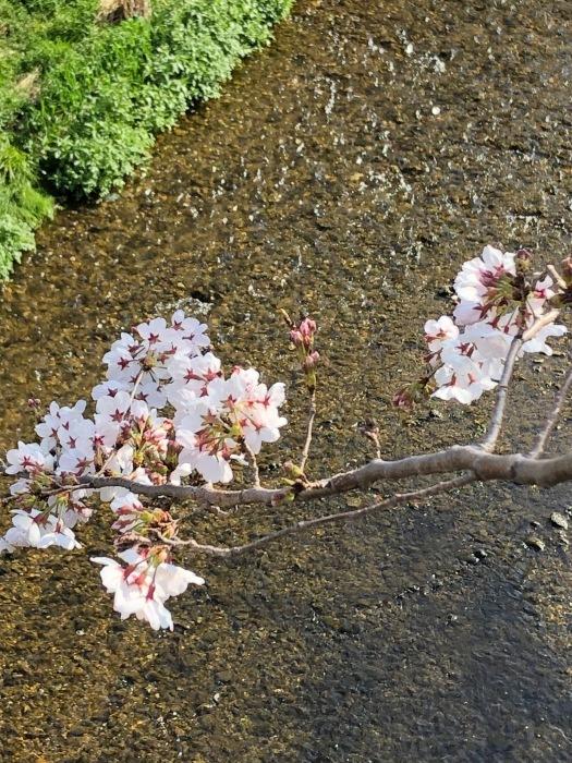 桜!_c0012247_00515410.jpg