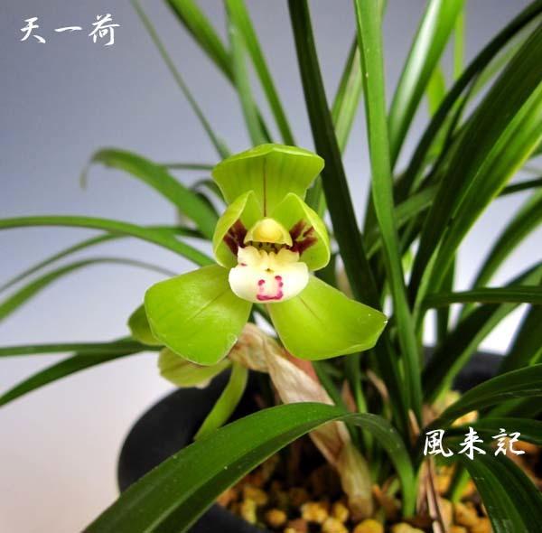 中国春蘭「天一荷」             No.2089_d0103457_00194064.jpg