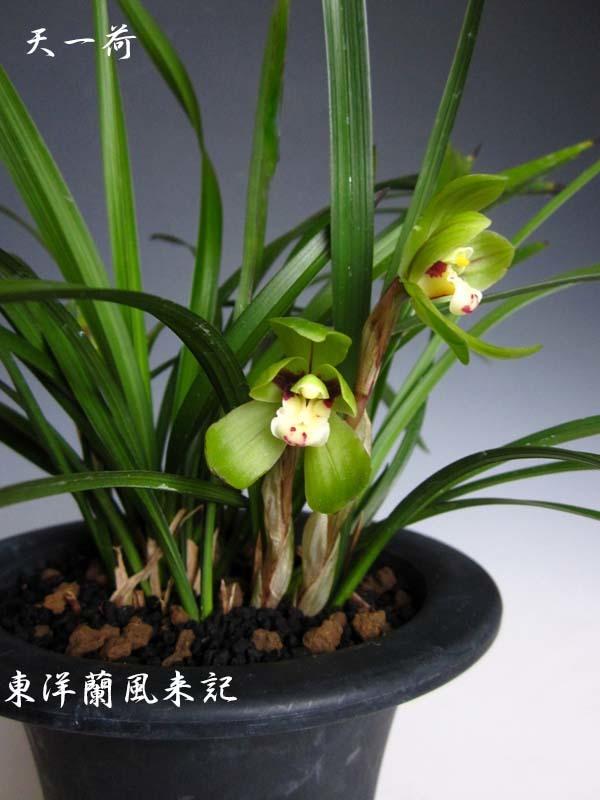 中国春蘭「天一荷」             No.2089_d0103457_00195659.jpg