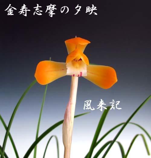 中国春蘭「天一荷」             No.2089_d0103457_10413919.jpg