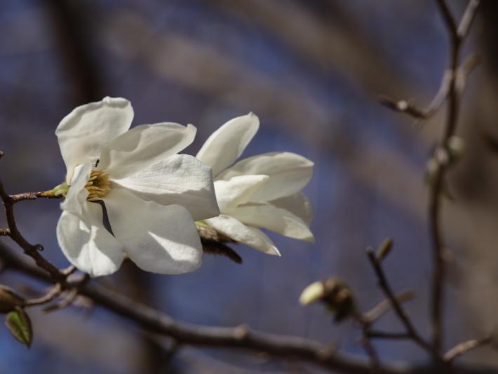 嶺公園のコブシ (2021/3/22撮影)_b0369971_14004625.jpg