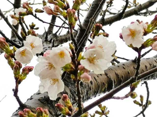 富浜緑地情報♪桜の開花、ユキヤナギの花、つくしが見られます!_d0338682_14582965.jpg