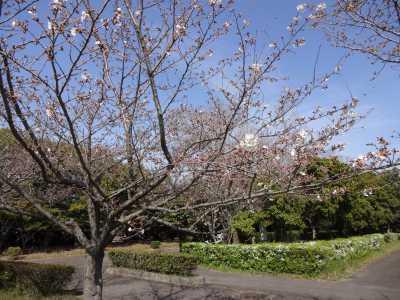 富浜緑地情報♪桜の開花、ユキヤナギの花、つくしが見られます!_d0338682_15012773.jpg
