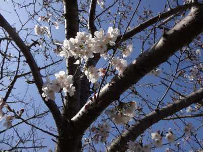 富浜緑地情報♪桜の開花、ユキヤナギの花、つくしが見られます!_d0338682_15013436.jpg